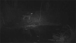 un lupo ripreso da una videotrappola