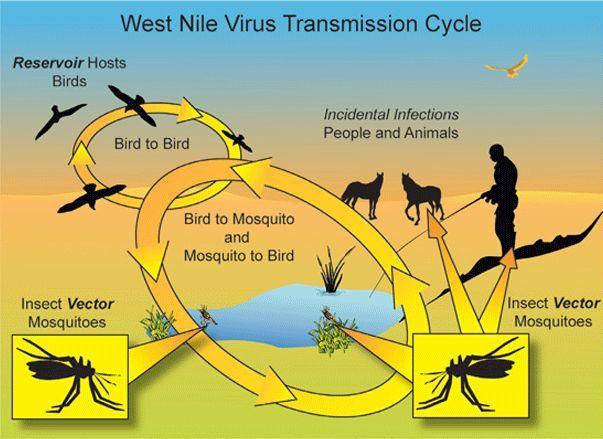 Virus West Nile, infettato un cavallo a Castel San Pietro Terme. Primo caso in zona