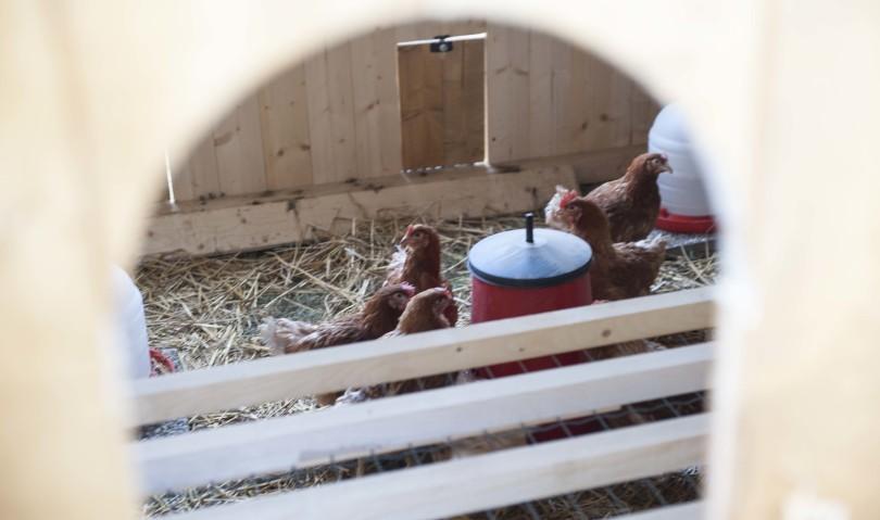 Affitti un orto solidale? Ti regalano una gallina per le tue uova biologiche