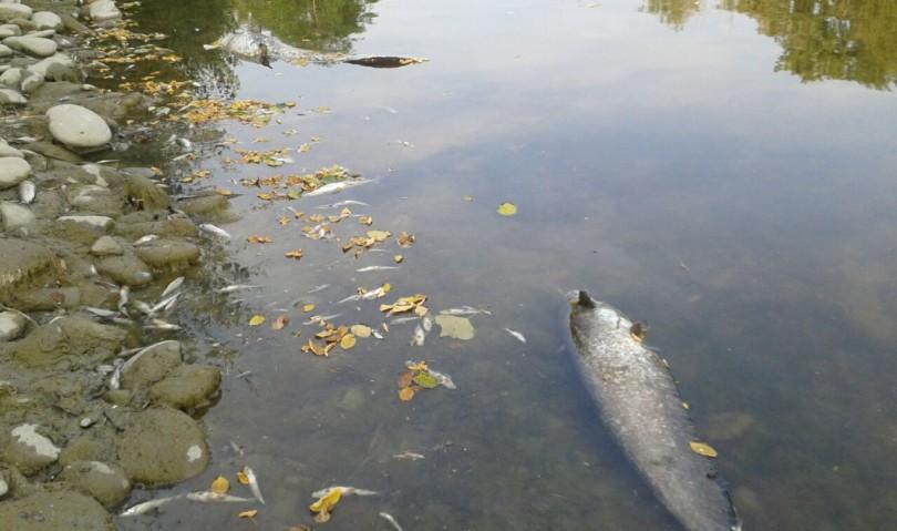 Siccità, morìa di pesci nel Reno. Interviene la provinciale