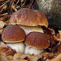 Tempo di funghi: mangiarli senza rischi. Riapre l'ispettorato micologico