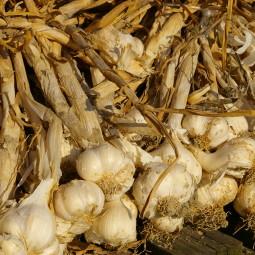 Al Baccanale anche l'aglio grande protagonista