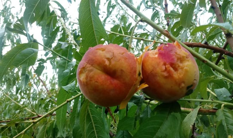 Grandine, frutteti pesantemente danneggiati