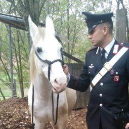 Purosangue fugge dal recinto, catturato dai Carabinieri