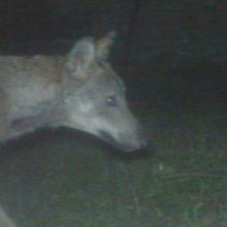 Il lupo, presenza stabile. Cinque famiglie lungo il Santerno